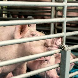 Pigs in stable cage