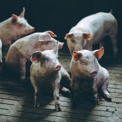 several pigs in a factory farm CAFO