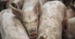 Pigs squeezed together in a hog CAFO