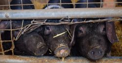 black pigs against a metal wire fence in a factory farm CAFO