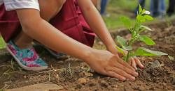 Child planting a young plant in the soil