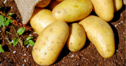 potatoes tumbling out of sack on the ground