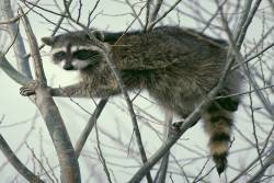 raccon sitting in a tree