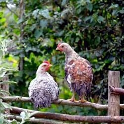 chickens sitting on a fence at a regenerative farm
