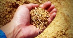 farmers hand holding grains of rice