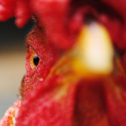 close up image of a red roosters face