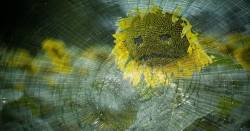 sunflower with a sad face behind a pane of broken glass