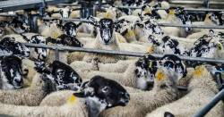 Sheep collected together in a Concentrated Animal Feeding Operation - CAFO