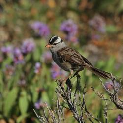 small white crowned sparrow song bird in a tree