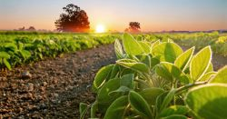 crop of soy bean plants in a farm field at sunrise