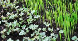 Green sprouts and microgreens growing in a pot of soil