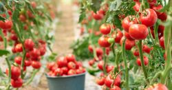 ripe red tomatoes growing in a greenhouse