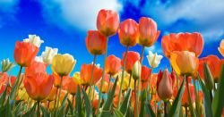 orange yellow and white tulip flowers in a garden against a blue sky with clouds