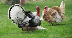 a brown and black turkey walking along a grassy field on a farm