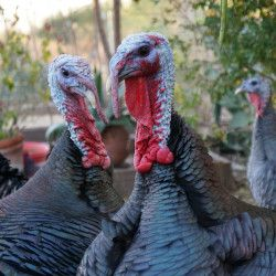 several gray turkeys on a green wooded farm