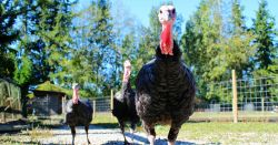 turkeys walking on a farm pasture
