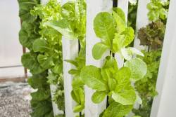 Vertical hydroponics farm of lettuce