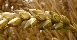 Close up macro shot of a stalk of wheat seeds