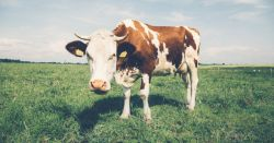 white and brown dairy cow grazing in a meadow