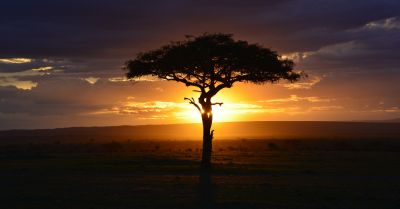 tree in the African savanna desert in Kenya at sunset