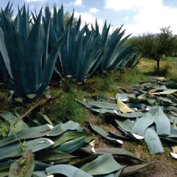 Agave and mesquite tree agroforestry