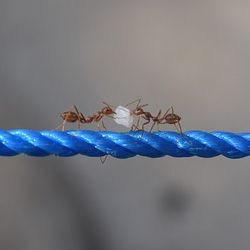 two ants on a blue rope working together to carry food
