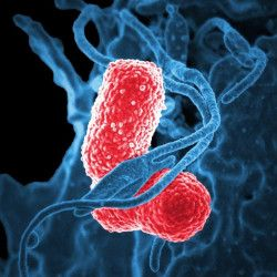 microscopic view of the red and blue cells of a bacteria or pathogen