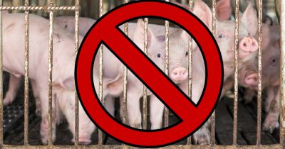piglet hogs in a factory farm CAFO with a red circle and slash over them