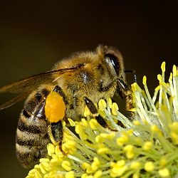 Close up of a honey bee on a yellow flower