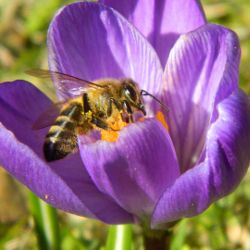 single honey bee on a purple crocus flower in the spring