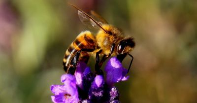 Honeybee sitting on a single purple flower