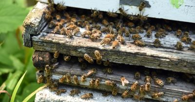 Bee flying to hives in an apiary with working bees flying to the landing boards