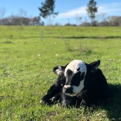 black and white calf on a grassy meadow pasture