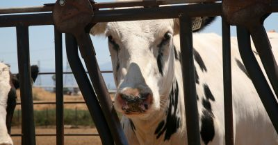 black and white dairy cow behind a metal fence on a factory farm CAFO