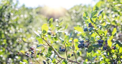 blueberry plants in the sunlight