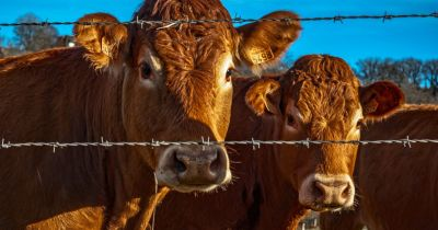 two brown furry cattle behind a barbed wire fence on a pasture
