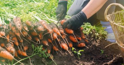farmer in a field harvesting a crop of carrots