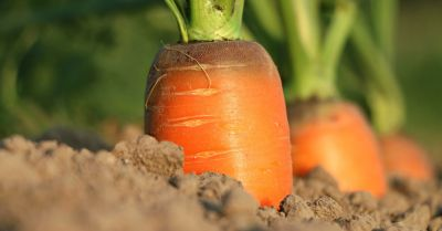 carrots growing in soil in a farm crop field