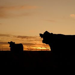 silhouettes of cows grazing in a field at sunset