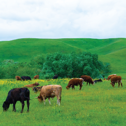 brown cattle grazing in a grassy pasture