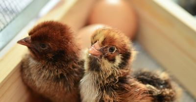 baby chicken chicks hatching out of eggs