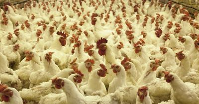 Massive amount of white feathered chickens in a small CAFO operation