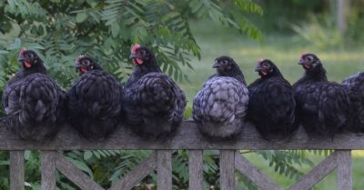 black and gray hens sitting on a fence