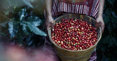 fresh harvest of raw coffee beans in a basket