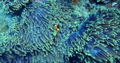 two orange and white clown fish huddled in a blue green sea anemone in a coral reef in the ocean