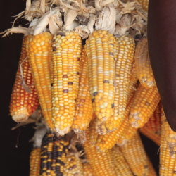 ears of colorful dry corn
