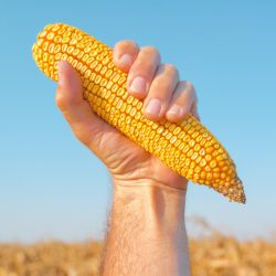 farmer in a crop field holding an ear of corn against a blue sky