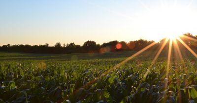 agricultural corn crop farm field at sunset