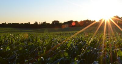 An agricultural corn crop field on a farm at sunset