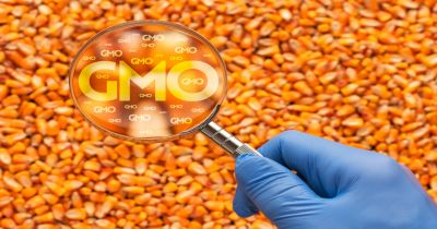 blue rubber glove on a scientists hand with a magnifying glass to a pile of yellow orange corn kernels with the letters GMO